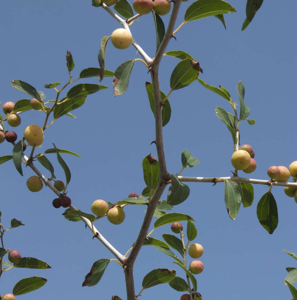 Jujube Tree with Christ's Thorns
